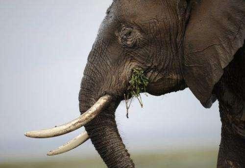 An elephant at the Amboseli game reserve,  south of Kenyan capital Nairobi on December 30, 2012