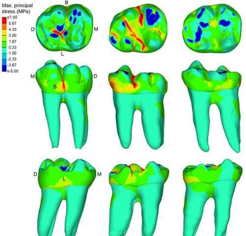 An evolutionary compromise for long tooth preservation