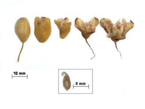 A new typology of seed development in late winter-flowering temperate woodland plants