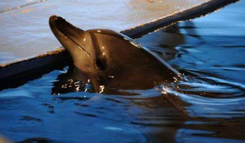 """An Indo-Pacific bottlenose dolphin called """"Jedol"""" at Seoul Grand Park Zoo in Gwacheon, south of Seoul, May 11, 2013"""