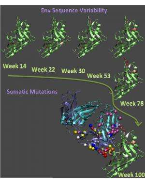 Antibody evolution could guide HIV vaccine development