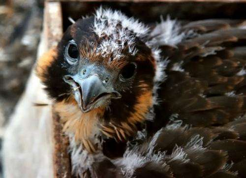 A peregrine falcon is born in a wooden box on June 7, 2011 on a windowsill in Lille, northern France