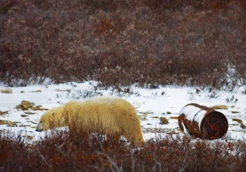 A polar bear walking past an oil drum on the edge of Hudson Bay outside Churchill, Canada, on November 14, 2007