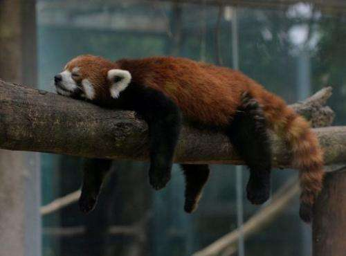 A red panda (also known as a lesser panda) relaxes in its enclosure at the Beijing zoo on June 24, 2013