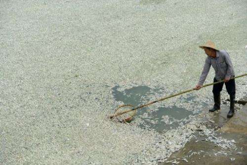 A resident clears dead fish from the Fu river in Wuhan in central China on September 3, 2013