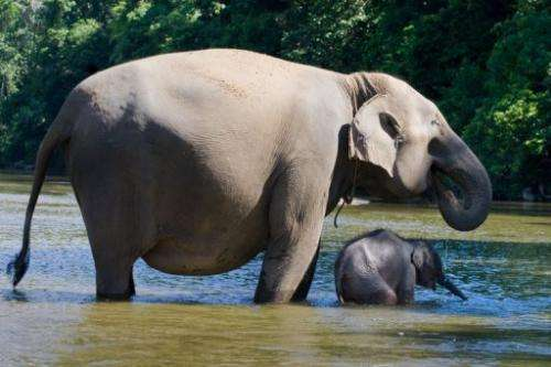 A Sumatran elephant with her baby in Sumatra's Aceh Jaya district on October 10, 2010