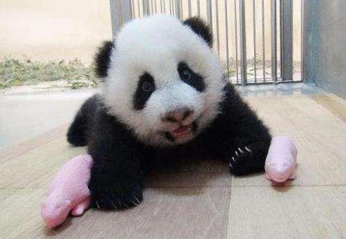 A Taipei City Zoo handout photo released on October 14, 2013 shows panda cub Yuan Zai