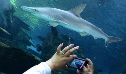 A visitor takes pictures of a whitetip shark at an aquarium in California on April 26, 2012