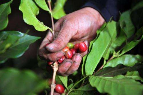 A worker collects coffee beans at a farm in Cuatro Esquinas,  in Nicaragua on January 17, 2013
