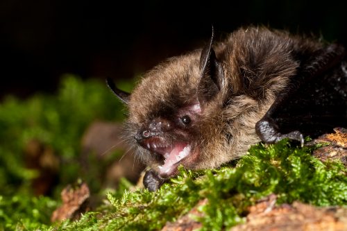 Bat maps: The conservation crusade