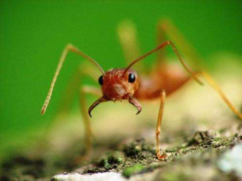 Battle scarred ant antennae can't tell friend from foe