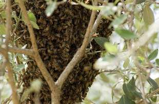Bees work together to keep cluster cool
