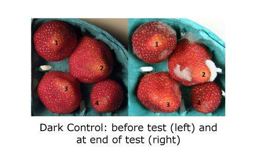Behold the 9-day fresh strawberry: New approach to slowing rot doubles berry shelf life