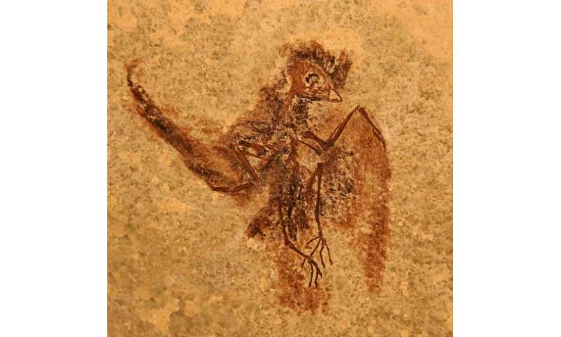 Bird fossil sheds light on how swift and hummingbird flight came to be
