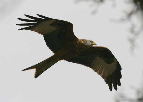 Blogging Birds: The lives of Red Kites, told by computers