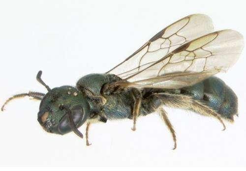 UNH researcher: Bees underwent massive extinction when dinosaurs did
