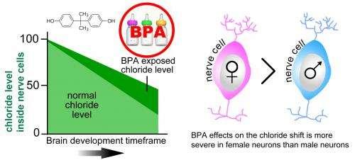 BPA may affect the developing brain by disrupting gene regulation
