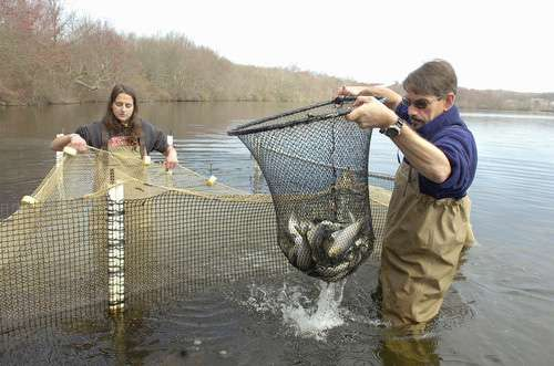 Genetic study of river herring populations identifies conservation priorities