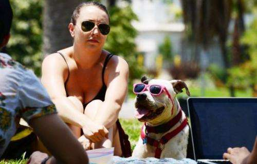 Captain, a boxer pitbull mix, sits with his owner in Echo Lake Park in Los Angeles, California on June 29, 2013