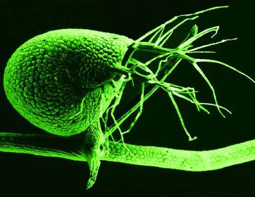 Carnivorous plant throws out 'junk' DNA