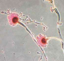 Chemical probe finds fungal organism function: Activity-based protein profiling suggests how fungus becomes pathogenic