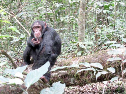 Chimpanzees eat smart when it comes to mealtime