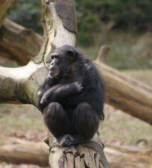 'Chimpanzees of a feather sit together': Friendships are based on homophily in personality