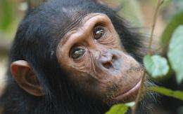 Chimps use touches and noisy gestures when trying to get another chimps attention, researcher finds