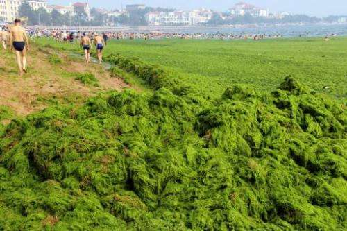 Chinese beachgoers walk by an algae covered public beach in Qingdao, northeast Shandong province, on July 4, 2013