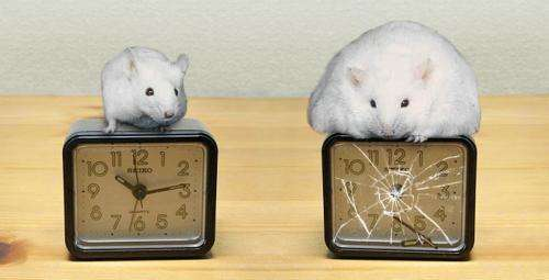 Circadian clock linked to obesity, diabetes and heart attacks