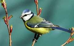City birds tougher than their country counterparts