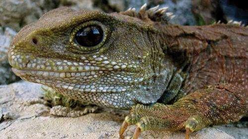 Close encounters with tuatara