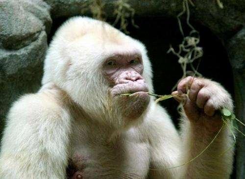 Copo de Nieve (Snowflake), an albino gorilla at the Barcelona zoo, on September 14, 2003