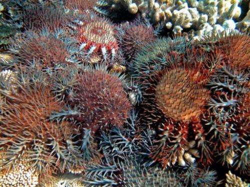 Coral eating starfish are shown on Australia's Great Barrier Reef, October 2, 2012