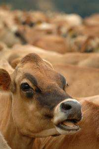 Cows fed flaxseed produce more nutritious dairy products