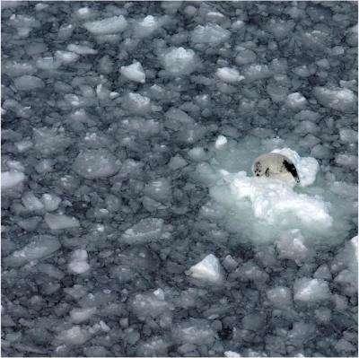 Declining sea ice strands baby harp seals