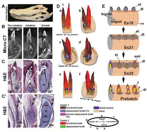 Study of alligator dental regeneration process may lead to tooth regeneration in humans