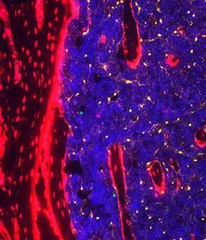 Distinct niches in bone marrow nurture blood stem cells