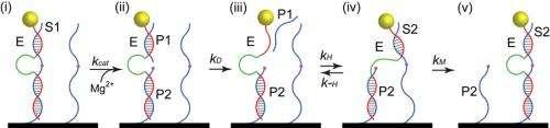 DNA motor 'walks' along nanotube, transports tiny particle