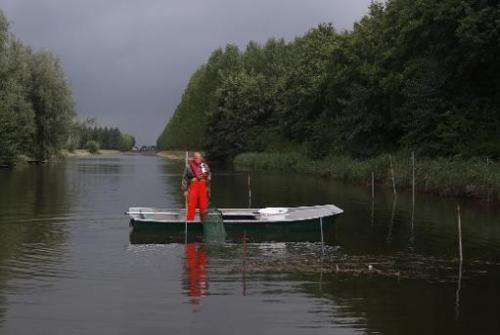 Dutch fisherman Aart van der Waal pulls up an eel trap on a small canal at Nieuwendijk on September 18, 2013 at the start of the