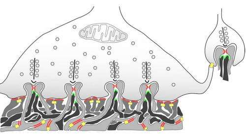 Efficient signal transmission at sensory system synapses