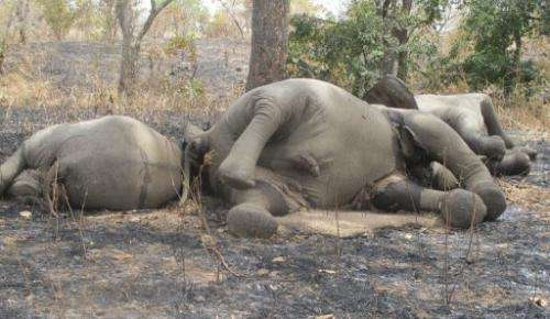 Elephants killed by poachers at a national park in Cameroon, near the Chad border, on February 23, 2012