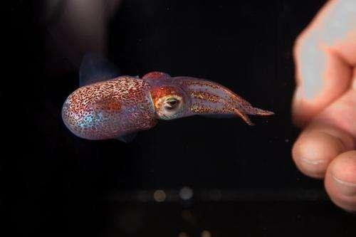 Essential mechanism of symbiosis found in Hawaiian squid