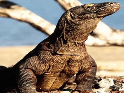 Fear of Komodo dragon bacteria wrapped in myth