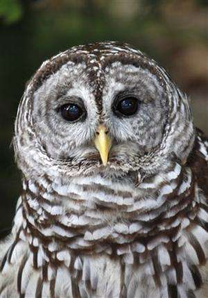 Feds kill 26 barred owls to help spotted owl