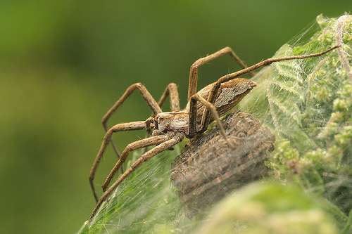 Female spiders prefer the sperm of gift-bearing males
