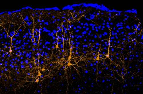 Brain wiring quiets the voice inside your head