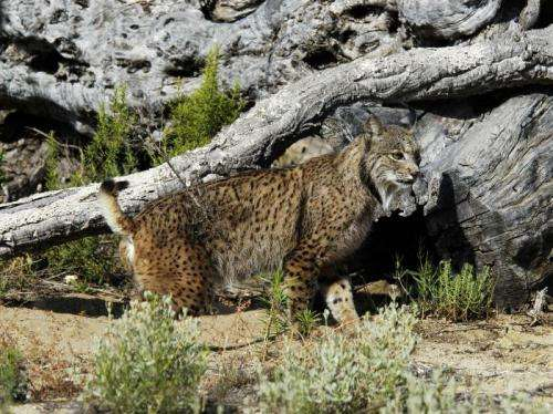For the first time Iberian lynx embryos are collected and preserved