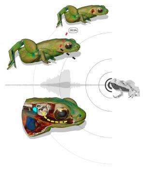 Frogs that hear with their mouth