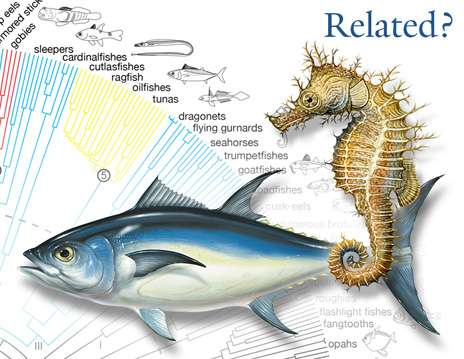 From flounders to seahorses: Evolutionary success of spiny-rayed fishes detailed